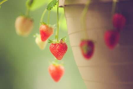 Red, ripe strawberries are ready to pick from a hanging container basket. Stok Fotoğraf