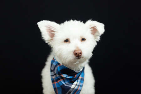 A white mixed breed dog on a black background. The dog is predominantly Chihuahua, Japanese-Spitz, and Standard Poodle. Image has a shallow depth of field with eye area in focus.