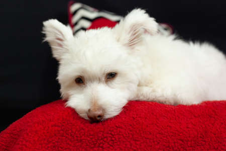 A white, fluffy mixed breed dog lies on a red surface with a black background. The dog is mainly Chihuahua, Japanese Spitz, and Standard Poodle. 免版税图像