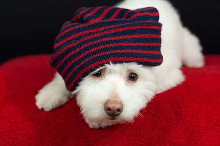 A white, fluffy mixed breed dog with a red and blue striped hat, on a black background. The dog is mainly Chihuahua, Japanese Spitz, and Standard Poodle. 免版税图像