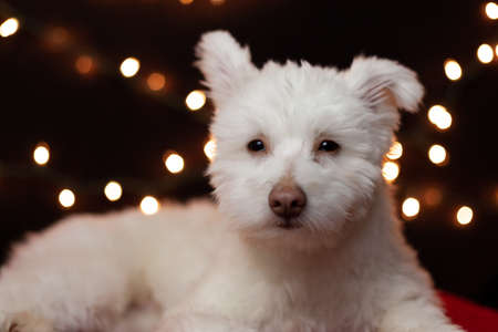 A white, fluffy, grumpy looking mixed breed dog on a black background with lights behind him. The dog is mainly Chihuahua, Japanese Spitz, and Standard Poodle. Image has a shallow depth of field.
