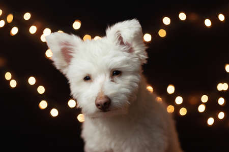 A white, fluffy mixed breed dog on a black background with lights behind him. The dog is mainly Chihuahua, Japanese Spitz, and Standard Poodle. Image has a shallow depth of field.