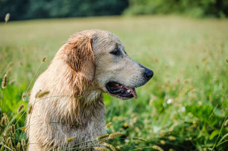 portrait of golden retriever in the tall grass on an autumn day Stock Photo