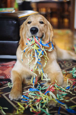Golden retriever dog with colored streamers in the mouth at home celebrating carnival