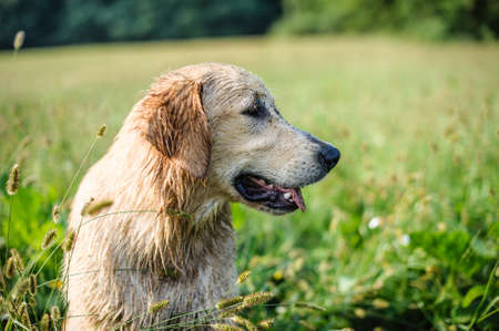 portrait of golden retriever dog in nature outdoor, woods and meadows during spring Stock Photo