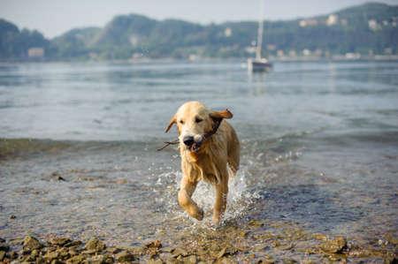 golden retriever dog bathes in Lake Maggiore, Angera, Lombardy, Italy Stock Photo
