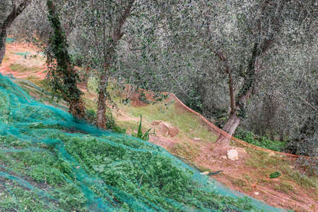 Olive grove with nets for harvesting olives, Ligurian mountains, Imperia, Italy Stock Photo