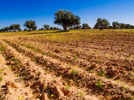 Agriculture in Africa, fields cultivated among the olive trees in Tunisia, El Jorf, place near Djerba