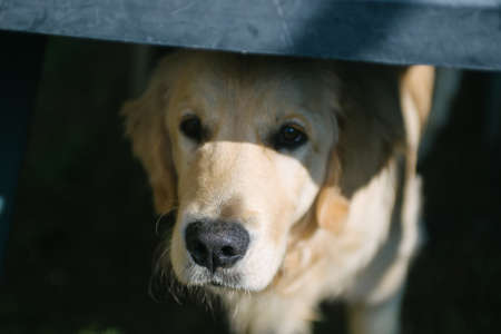 Golden retriever at home entrance looks inwards