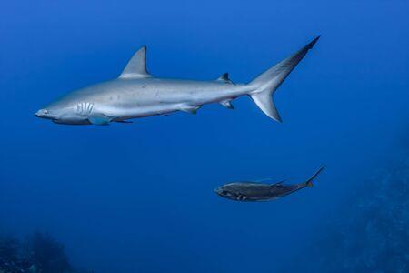 Un requin de récif des Caraïbes est à l'affût d'un repas suivi de près par un coureur bleu dans les eaux claires des îles Turques et Caïques. Banque d'images
