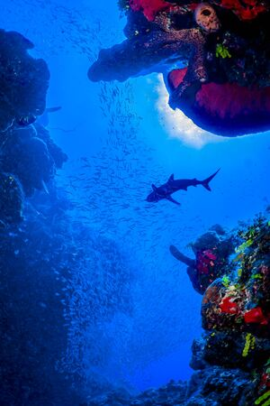Caribbean Reef Sharks on the prowl for a meal amongst the colorful reefs of the Turks and Caicos Islands.