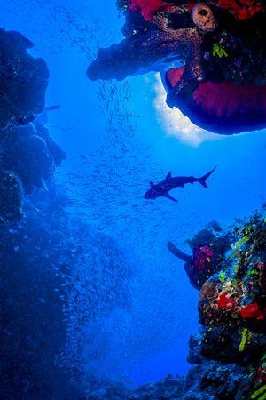 Karibische Riffhaie auf der Jagd nach einer Mahlzeit zwischen den farbenfrohen Riffen der Turks- und Caicosinseln.