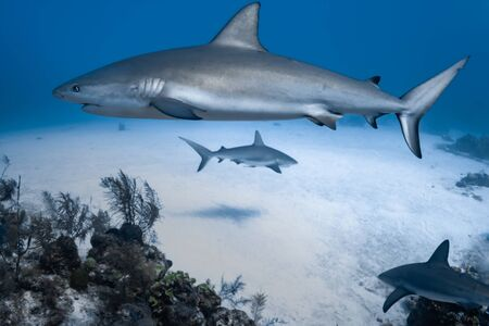 Caribbean Reef Sharks on the prowl for a meal in the Turks and Caicos Islands.