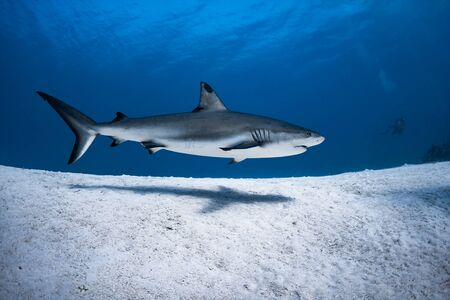 Beautiful Caribbean Reef Shark on the prowl for a meal in the crystal clear waters of the Turks and Caicos Islands. Stock Photo