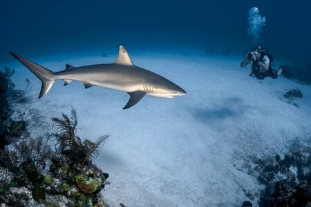 Beautiful Caribbean Reef Shark on the prowl for a meal in the crystal clear waters of the Turks and Caicos Islands.
