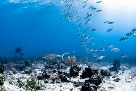 A large school of Horse-Eye Jacks watch a Caribbean Reef Shark swim towards a SCUBA diver in the beautiful clear waters of the Turks and Caicos Islands in the Caribbean.