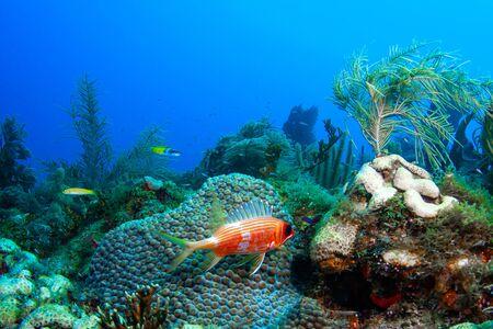 Een eekhoornvis met lange ruggengraat bewaakt zijn territorium naast een grote sterkoraalkolonie in de Dry Tortugas in de Golf van Mexico voor de zuidwestkust van Florida.