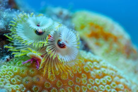 Christmas Tree Worms on a star coral colony in the Turks and Caicos islands. 免版税图像