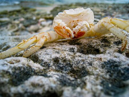 A crabs exoskeleton is left behind on the rocky Bonaire coastline after molting.
