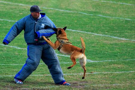 Cocoa, Florida / USA - October 12, 2019: A Law Enforcement K9 attacks a trainer in a padded bite suit during the Space Coast Police K9 Competition. Archivio Fotografico - 132890754