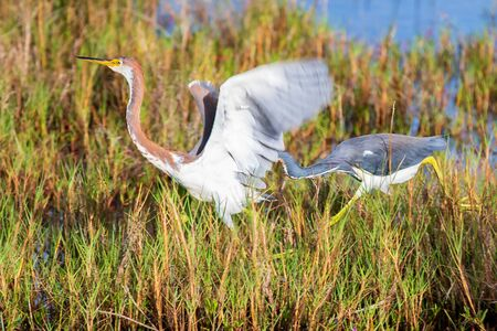 Tri-Colored Herons competing for food in the marsh at Merritt Island National Wildlife Refuge in Florida (USA)
