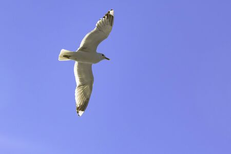 Seagull in flight as it looks for herring in the  Archipelago of Finland.