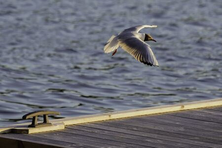 Black Headed Gull coming in for a landing in the Finnish Archipelago .