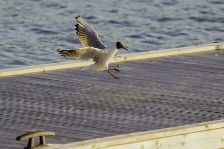 Black Headed Gull coming in for a landing in the Finnish Archipelago . Фото со стока