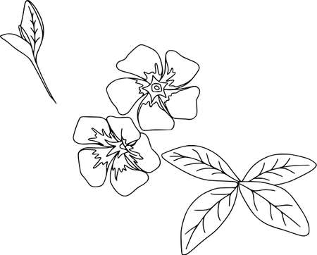 Vector vinca flower illustration. Isolated botanical draw. Black and white contour pattern, line art.