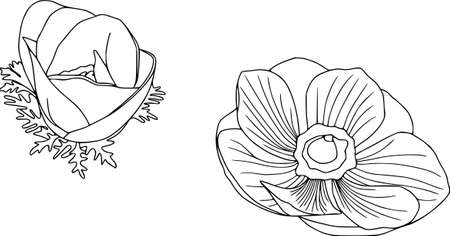 Vector anemone flower illustration. Isolated botanical draw. Black and white contour pattern, line art
