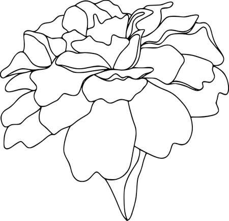 Vector tagetes flower illustration. Isolated botanical draw. Black and white contour pattern, line art. Çizim