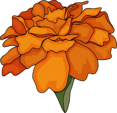 Vector tagetes flower illustration. Isolated botanical draw. Colored contour pattern, line art.