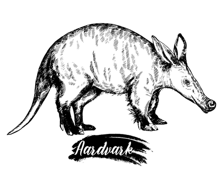 Hand drawn sketch style aardvark isolated on white background.