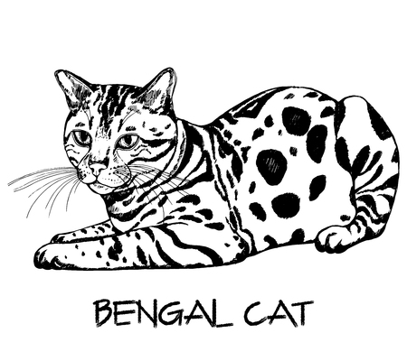 Hand drawn sketch style bengal cat. Vector illustration isolated on white background.