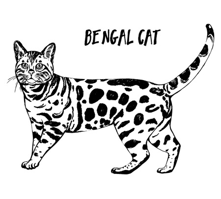 Hand drawn sketch style bengal cat. Vector illustration isolated on white background.  イラスト・ベクター素材