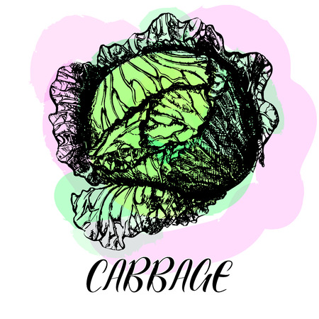Hand drawn sketch of headed cabbage. Vector illustration.