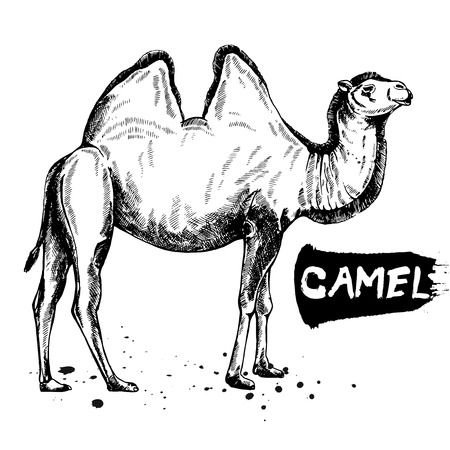Hand drawn sketch style camel. Vector illustration isolated on white background. Ilustrace