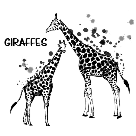 Hand drawn sketch set of giraffes. Vector illustration isolated on white background.