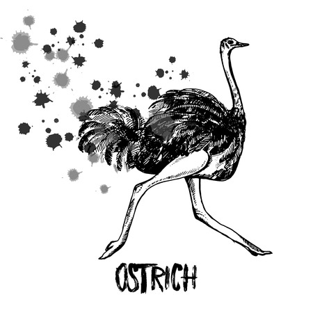 Hand drawn sketch of ostrich. Vector illustration isolated on white background.