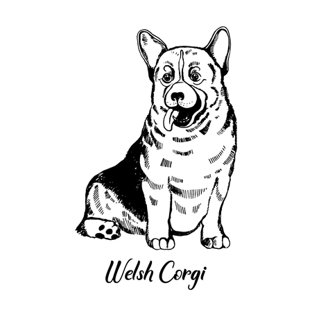 Hand drawn sketch style welsh corgi. Vector illustration isolated on white background.