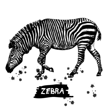 Hand drawn sketch of zebra. Vector illustration isolated on white background. Imagens - 93802775