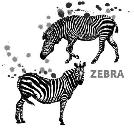 Hand drawn sketch set of zebras. Vector illustration isolated on white background. Ilustração
