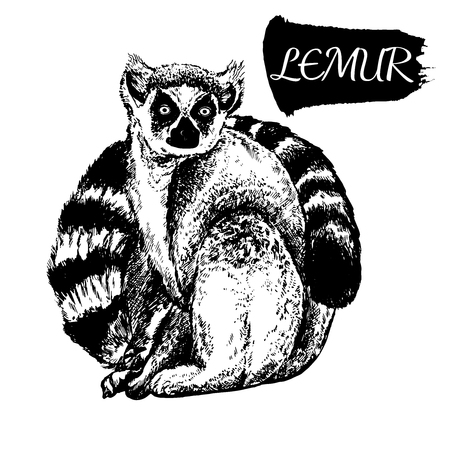 Hand drawn sketch style lemur. Vector illustration isolated on white background.
