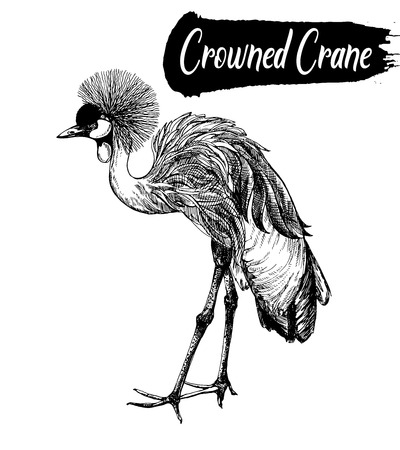 Hand drawn sketch of crowned crane. Vector illustration isolated on white background.