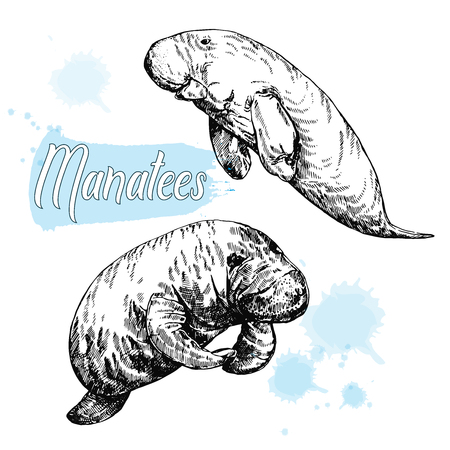 Hand drawn sketch style manatees isolated on white background. Vector illustration. Illustration