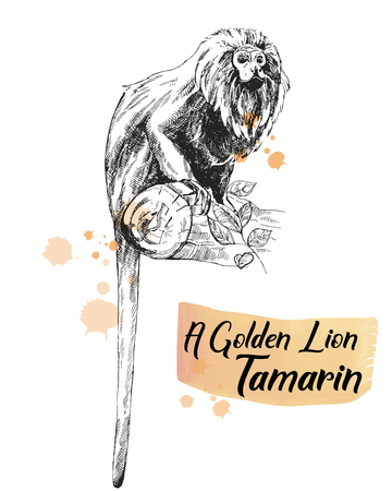 Hand drawn sketch style golden lion tamarin isolated on white background. Vector illustration.