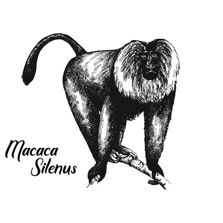Hand drawn sketch style lion-tailed macaque isolated on white background. Vector illustration.