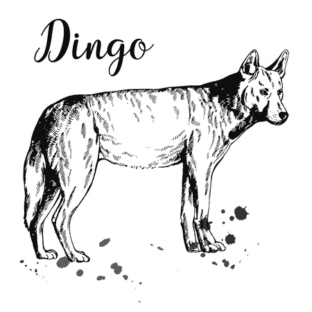 Hand drawn sketch style dingo dog isolated on white background. Vector illustration.