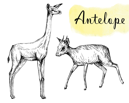 Set of hand drawn sketch style gerenuk and dik-dik isolated on white background. Vector illustration. Иллюстрация