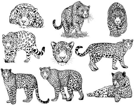 Set of hand drawn sketch style leopards isolated on white background. Vector illustration. Reklamní fotografie - 162438556